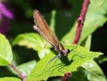 Όμορφο virgo demoiselle Damselfly calopteryx Στοκ Εικόνες