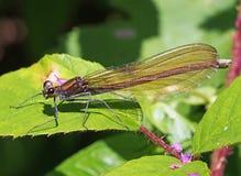 Όμορφο virgo demoiselle Damselfly calopteryx Στοκ εικόνα με δικαίωμα ελεύθερης χρήσης