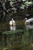 Όμορφο waterbird στη λίμνη Στοκ εικόνες με δικαίωμα ελεύθερης χρήσης