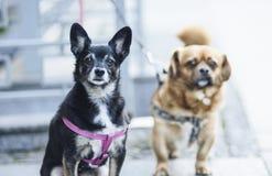 Όνειρα δύο σκυλιών Στοκ Εικόνα