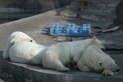 Όνειρα των αρκούδων Στοκ Εικόνες
