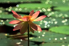 Όνειρο Lotus Στοκ εικόνες με δικαίωμα ελεύθερης χρήσης