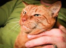 όντας γάτα που αγαπιέται Στοκ φωτογραφίες με δικαίωμα ελεύθερης χρήσης