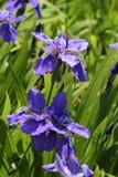 Όπως ένα πορφυρό λουλούδι πεταλούδων Στοκ Φωτογραφίες