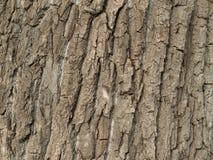 όπως ο φλοιός ανασκόπησης είναι μπορεί δέντρο χρησιμοποιούμενο Στοκ Φωτογραφία