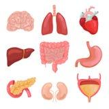 Όργανα ανθρώπινων σωμάτων κινούμενων σχεδίων Υγιής χωνευτικός, κυκλοφοριακός Εικονίδια ανατομίας οργάνων για το ιατρικό διανυσματ ελεύθερη απεικόνιση δικαιώματος