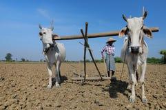 Όργωμα αγελάδων Στοκ Εικόνες