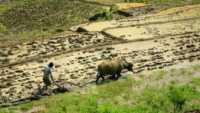 όργωμα καλλιέργειας με το βόδι, αγρόκτημα σε Sapa, Βιετνάμ, πρωτόγονο τρακτέρ φιλμ μικρού μήκους