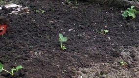 Όργωμα του κρεβατιού κήπων φραουλών με τον καλλιεργητή απόθεμα βίντεο