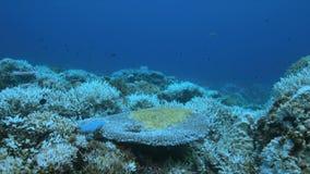 Όταν μια κοραλλιογενής ύφαλος πεθαίνει απόθεμα βίντεο