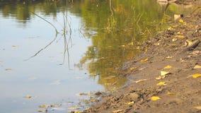 Όχθη ποταμού το πρώιμο φθινόπωρο, στην ακτή των λίγο κίτρινων πεσμένων φύλλων απόθεμα βίντεο