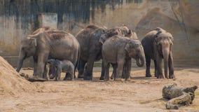 Όχλος του ασιατικού ελέφαντα μωρών δερμάτων ελεφάντων γκρίζου παχιού Στοκ φωτογραφία με δικαίωμα ελεύθερης χρήσης