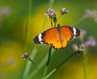 όψη σχεδίων μοναρχών πεταλούδων στοκ φωτογραφίες με δικαίωμα ελεύθερης χρήσης