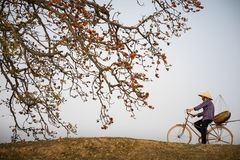 όψη του Βιετνάμ ποταμών αρώματος τοπίων Ανθίζοντας δέντρο ceiba Bombax ή κόκκινο λουλούδι βαμβακιού μεταξιού με μια γυναίκα που α Στοκ φωτογραφία με δικαίωμα ελεύθερης χρήσης