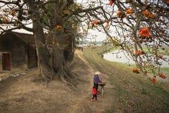 όψη του Βιετνάμ ποταμών αρώματος τοπίων Ανθίζοντας δέντρο ceiba Bombax ή κόκκινο λουλούδι βαμβακιού μεταξιού από τον παλαιό ναό,  Στοκ Εικόνα