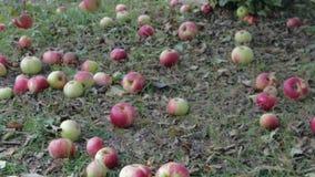 Όψιμα μήλα φθινοπώρου συγκομιδών απόθεμα βίντεο