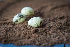 2 όλα τα αυγά Πάσχας έννοιας νεοσσών κάδων ανθίζουν τη χλόη χρωμάτισαν τις τοποθετημένες νεολαίες Τρία αυγά ορτυκιών στο τραχύ υπ Στοκ εικόνες με δικαίωμα ελεύθερης χρήσης