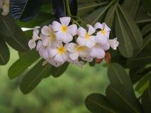 όλοι γύρω από την ανθίζοντας δέσμη αντιγράφουν το πορφυρό μαλακό διάστημα plumeria αυτών της Χαβάης κήπων εστίασης λουλουδιών Στοκ φωτογραφία με δικαίωμα ελεύθερης χρήσης