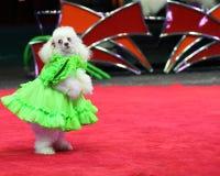όλο το σκυλί τσίρκων κάνει τα τεχνάσματα ειδών που Στοκ εικόνες με δικαίωμα ελεύθερης χρήσης