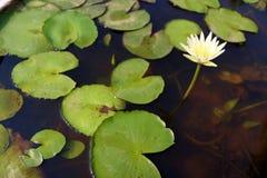 ύδωρ ανασκόπησης lilly Στοκ Φωτογραφίες