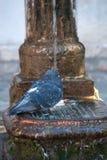 ύδωρ αντλιών περιστεριών Στοκ φωτογραφίες με δικαίωμα ελεύθερης χρήσης