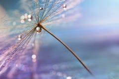 ύδωρ απελευθέρωσης Μια όμορφη μακρο πικραλίδα με μια πτώση του νερού Εκλεκτική εστίαση Στοκ Φωτογραφίες
