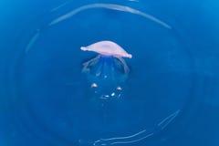 ύδωρ ζελατίνας ψαριών απε&lam Στοκ Εικόνα