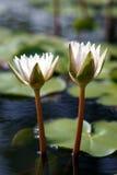 ύδωρ κρίνων λουλουδιών στοκ φωτογραφίες