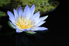 ύδωρ κρίνων λουλουδιών στοκ εικόνα