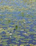 ύδωρ κρίνων Στοκ Εικόνες