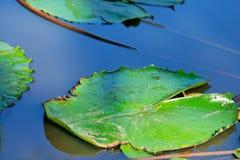 ύδωρ κρίνων Στοκ Φωτογραφία
