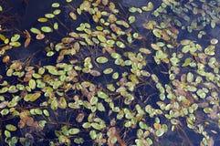 ύδωρ πράσινων φυτών Στοκ Φωτογραφίες