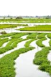 ύδωρ σπανακιού 02 αγροκτημά&ta Στοκ φωτογραφία με δικαίωμα ελεύθερης χρήσης