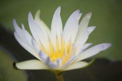 ύδωρ της Αμαζώνας lilly Στοκ Εικόνες