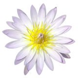 Ύδωρ lilly στην άσπρη ανασκόπηση Στοκ φωτογραφίες με δικαίωμα ελεύθερης χρήσης