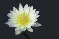 Ύδωρ lilly ως αντικείμενο Στοκ φωτογραφίες με δικαίωμα ελεύθερης χρήσης