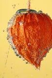 ύδωρ physalis Στοκ εικόνα με δικαίωμα ελεύθερης χρήσης