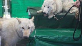 λύκοι Στοκ φωτογραφία με δικαίωμα ελεύθερης χρήσης