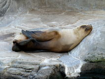 λύκος 2 θάλασσας Στοκ φωτογραφίες με δικαίωμα ελεύθερης χρήσης