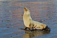 λύκος 2 θάλασσας Στοκ Εικόνες