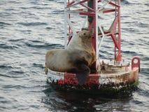 λύκος 2 θάλασσας Στοκ φωτογραφία με δικαίωμα ελεύθερης χρήσης