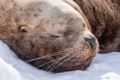 λύκος 2 θάλασσας Στοκ Εικόνα
