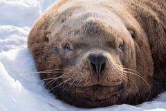 λύκος 2 θάλασσας Στοκ Φωτογραφία