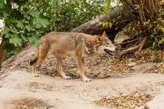λύκος τρεξίματος Στοκ Εικόνες