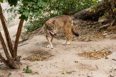 λύκος τρεξίματος Στοκ Φωτογραφίες