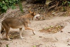 λύκος τρεξίματος Στοκ φωτογραφία με δικαίωμα ελεύθερης χρήσης