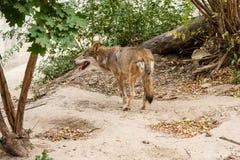 λύκος τρεξίματος Στοκ εικόνες με δικαίωμα ελεύθερης χρήσης