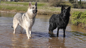 Δύο γερμανικά σκυλιά ποιμένων στο νερό Στοκ Εικόνες