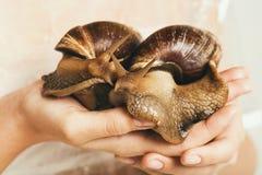 Δύο γιγαντιαία σαλιγκάρια στα ανθρώπινα χέρια Στοκ εικόνες με δικαίωμα ελεύθερης χρήσης