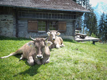 δύο ελβετικές αγελάδες με τα κέρατα Στοκ εικόνες με δικαίωμα ελεύθερης χρήσης
